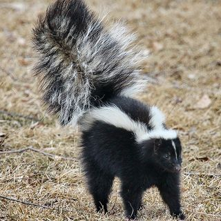 Moron Monday: Man Burns House Down With DIY Skunk Removal