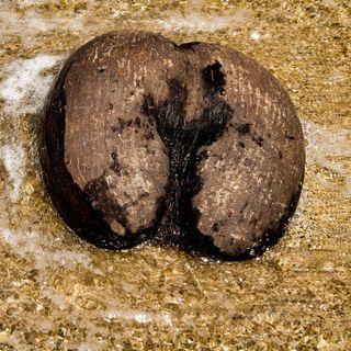 Il cocco di mare delle Seychelles