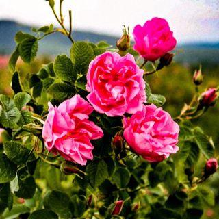 Rosa, fiore del Paradiso