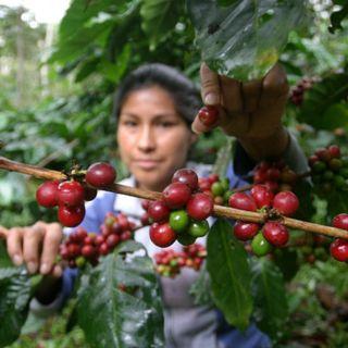 RADAR. Baja el precio del Café en la Bolsa de Nueva York