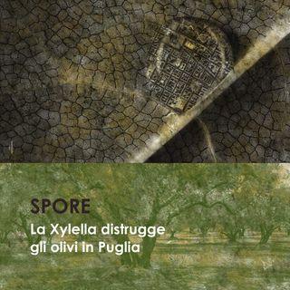 La Xylella distrugge gli olivi in Puglia