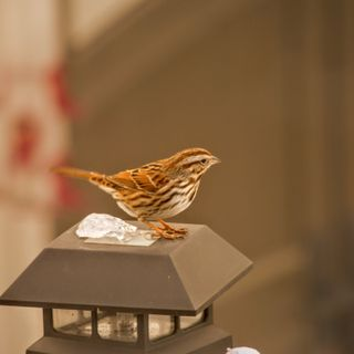 The Song Sparrow (Part 1)