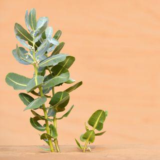 Pflanzenjäger auf Abenteuerreise - Wie man früher seltene Arten aufspürte