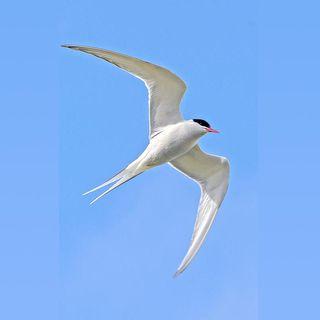67 - Quali Uccelli sono capaci di volare sopra i 6000 metri e per distanze di 40 000 Km? - Zoologia