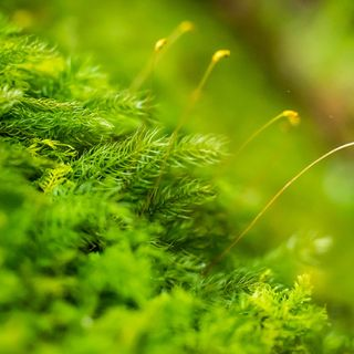 Episódio 02 - Reino Plantae/Plantas - Briófitas