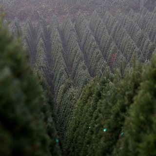 There's A Christmas Tree Shortage—But Not In New England