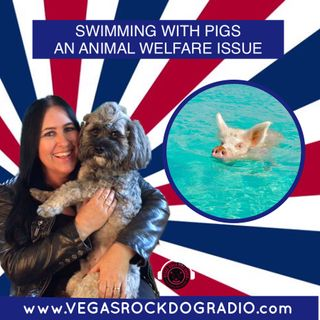 Swimming With Pigs An Animal Welfare Issue