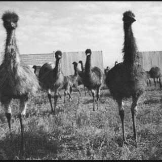 111 - The Emu War (Live in Australia)