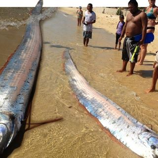 ACS: Oarfish And Megaquakes