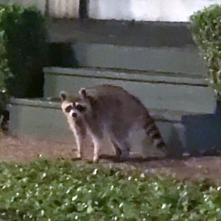 The Raccoon Situation