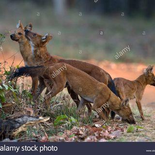 Like Wild Dogs
