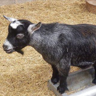 Feels Good- Goats cutting the grass in Brooklyn