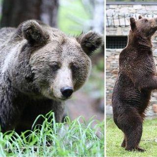 La storia di Medo e Buya, gli orsi salvati dal maltrattamento a cura del Dott. Pedroni