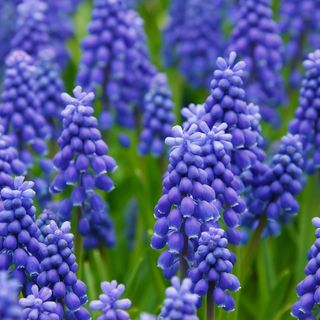 DIY GM Ep79 Muscari GrapeHyacinth -  How to Use in Your Garden!