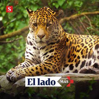 Los agricultores que se convirtieron en guardianes del jaguar