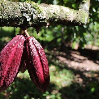 Sistemas agroforestales de cacao