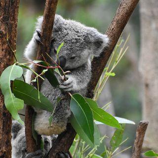 About the Koala