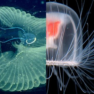 Ocean Lovin' 2 - Jellies and Larvaceans