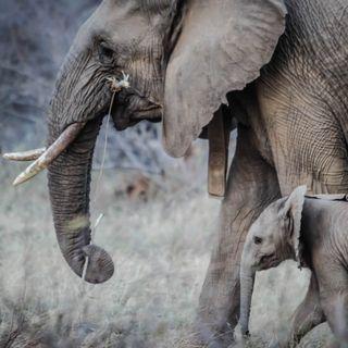 Endangered - Trentamila euro per un elefante