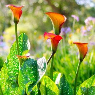 DIY GM Ep91 Calla Lily Companion Plants