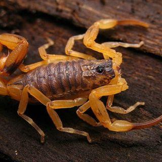 Escorpião amarelo, a rede de esgoto é a grande vilã?