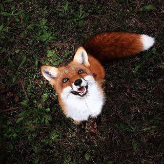 Buongiorno in connessione alla volpe!