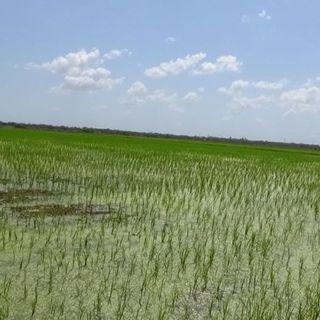 ¿Cómo está la producción de arroz en Matanzas?