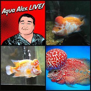 Aqua Alex LIVE: Flowerhorn and Cichlid Lover Gabriel  Gomez