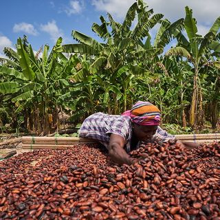CALMIE AFRICAN DIARY SHOW- GHANA BANNING EXPORTATION OF COCOA MATERIALS TO SWITZWERLAND
