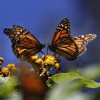 Abren al público los santuarios de la Mariposa Monarca