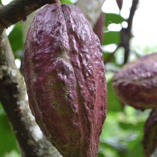 Carmenta, la plaga que acaba con los cultivos de cacao