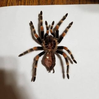 Episode 2: Mexican Red-Knee Tarantula
