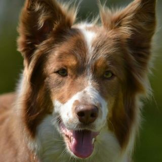 Aflevering 4 - Border Collies