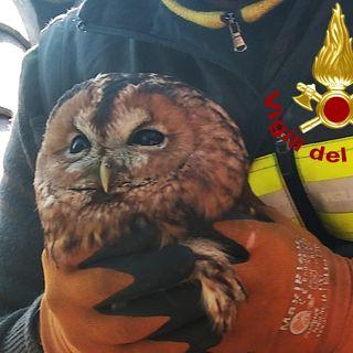 Uccello rapace intrappolato per 4 giorni nella canna fumaria. Salvato dai pompieri