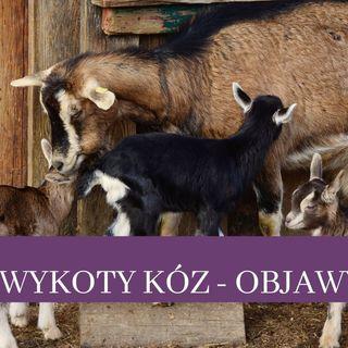 30 Wykoty kóz, objawy porodu kozy