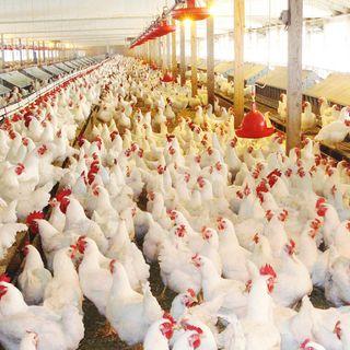 23/09/2021 - Cenário da avicultura de corte