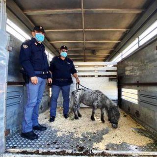 """La """"cavallina storna"""" rubata è ritrovata dopo 2 mesi. Il pony si trovava in Umbria"""