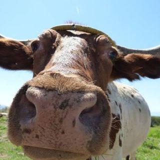 """Aquela Do """"Olha A Vaca!!!!"""" - Episódio 37 - Epístolas ao Horácio Castanhola"""