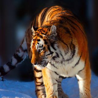 01. La storia di Vladik, la tigre ribelle