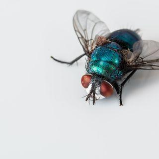 Il calvo e la mosca
