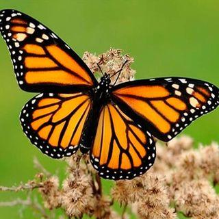 Regala mariposas de buenos deseos a tus seres queridos