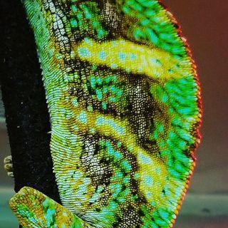 Episode 2: Veiled Chameleons