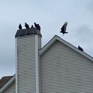 Large turkey vultures are coming too close for comfort for a Cranston, RI family