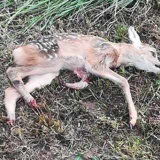 Cucciolo di capriolo falciato nei campi. Guardie zoofile denunciano un agricoltore