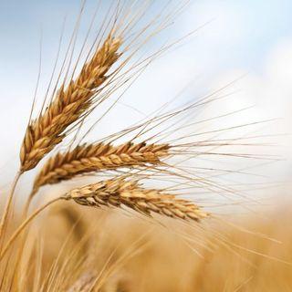 Piccoli chicchi di grano