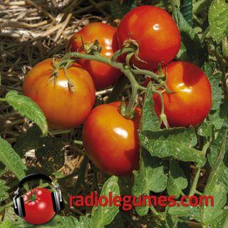 Les tomates, estivales et chaleureuses
