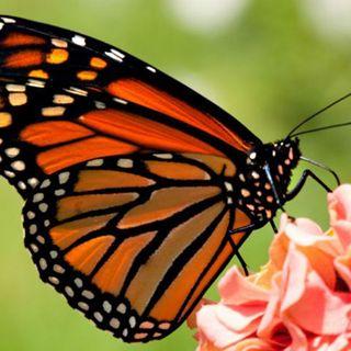 ¿Cuánto costará la entrada a los santuarios de la mariposa monarca?