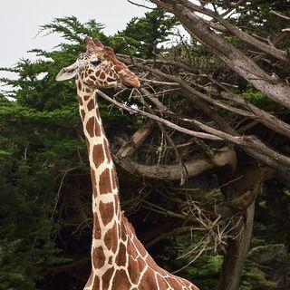 La giraffa vanitosa