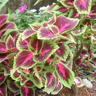 Show 44: Plant ID for Emergency Herbal Medicine