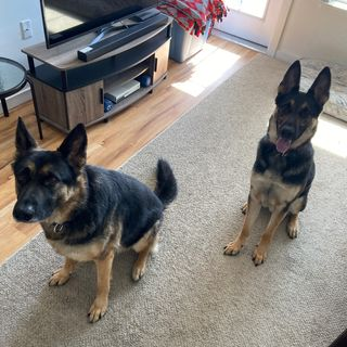 You Have To Be Crazy To Own a GSD